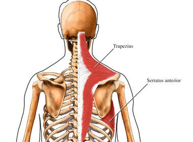 Superficial Muscles of the Shoulder Girdle: Posterior (Back) View