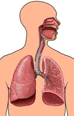 Male Torso with Respiratory System, Anterior View