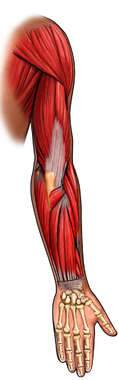 Posterior Musculature of the Arm