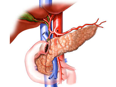 Vasculature of the Pancreas, Liver, Gall Bladder, and Duodenum