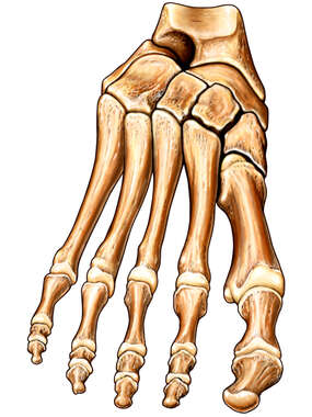 The Bones of the Foot: Anterior View