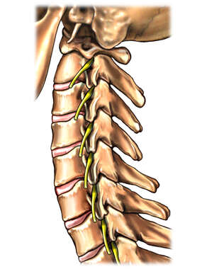 Cervical Spine and Spinal Nerve Roots