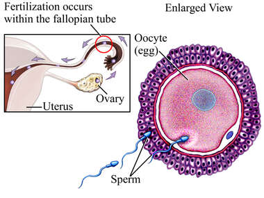 Fertilization (Conception)
