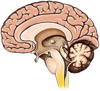 Brain with Brainstem, Mid-line Cut-away View