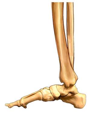 Foot and Ankle Bones, Medial View
