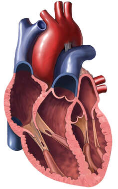 Anterior Cut-away View of the Heart
