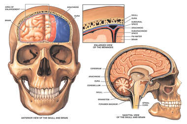 Anatomy of the Brain and Meninges