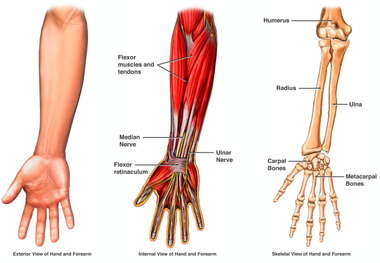 Anatomy of the Arm, Wrist and Hand