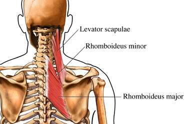 Deep Muscles of the Shoulder Girdle: Posterior (Back) View