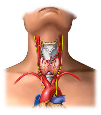 Anterior Thyroid Gland Anatomy
