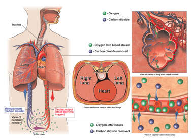 Normal Anatomy of the Circulatory System