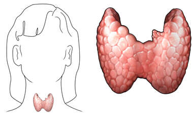 The Thyroid