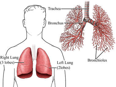 The Lungs and Bronchioles