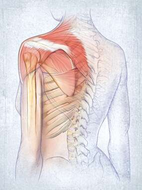 Posterolateral Shoulder and Spine Anatomy